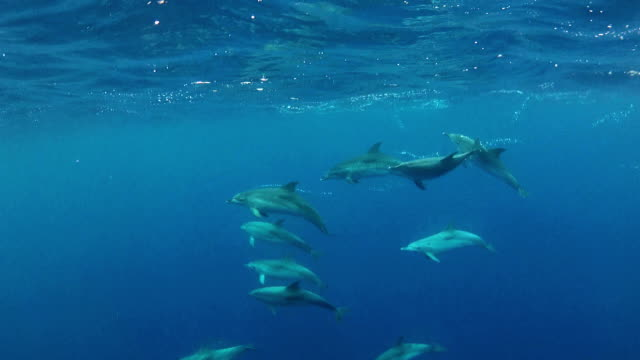 atlantic spotted dolphin - spotted dolphin stock videos and b-roll footage