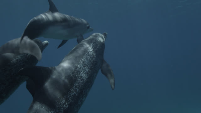 atlantic spotted dolphins and juvenile, bahamas - bimini stock videos & royalty-free footage