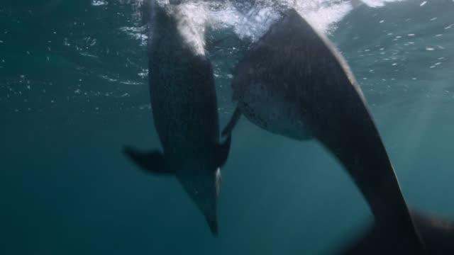 vidéos et rushes de atlantic spotted dolphins dive in blue ocean, bahamas - bimini