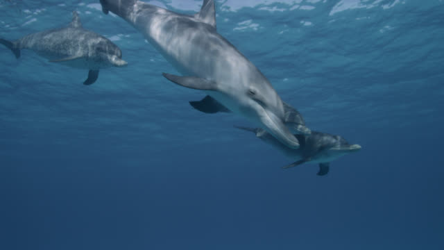 atlantic spotted dolphins dive in blue ocean, bahamas - bimini stock videos & royalty-free footage