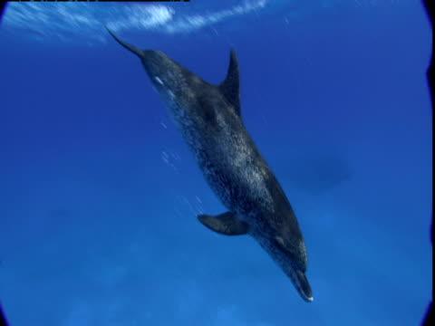vídeos de stock e filmes b-roll de atlantic spotted dolphins dive toward the seabed in the bahamas. - golfinho pintado pantropical