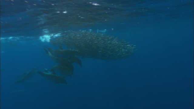 vidéos et rushes de atlantic spotted dolphins (stenella frontalis) hunt fish (carangidae) bait ball, azores, atlantic ocean - dauphin tacheté