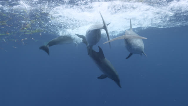 atlantic spotted dolphins play and splash, bahamas - bimini stock videos & royalty-free footage