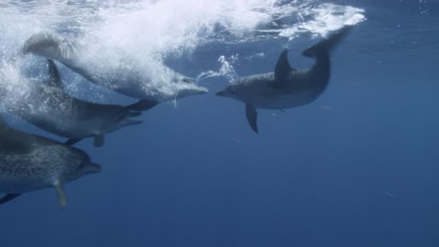 stockvideo's en b-roll-footage met atlantic spotted dolphins play and splash, bahamas - bimini