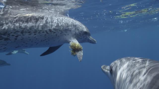 atlantic spotted dolphins play with seaweed, bahamas - bimini bildbanksvideor och videomaterial från bakom kulisserna