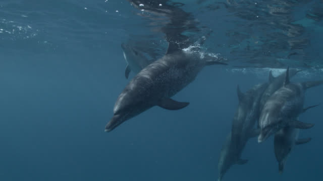 atlantic spotted dolphins surface and dive, bahamas - bimini stock videos & royalty-free footage