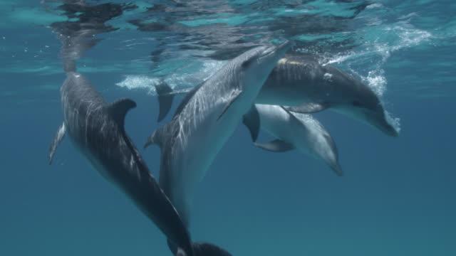 atlantic spotted dolphins surface, bahamas - bimini bildbanksvideor och videomaterial från bakom kulisserna