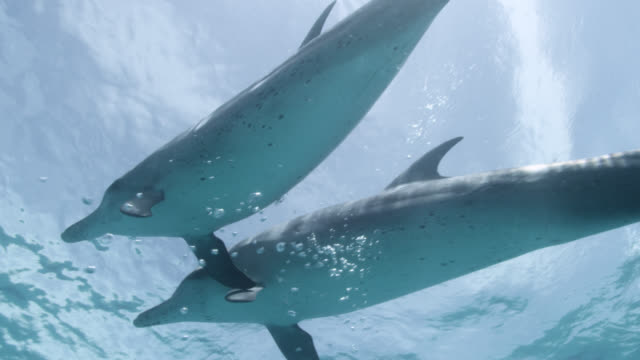 atlantic spotted dolphins surface, bahamas - bimini stock videos & royalty-free footage