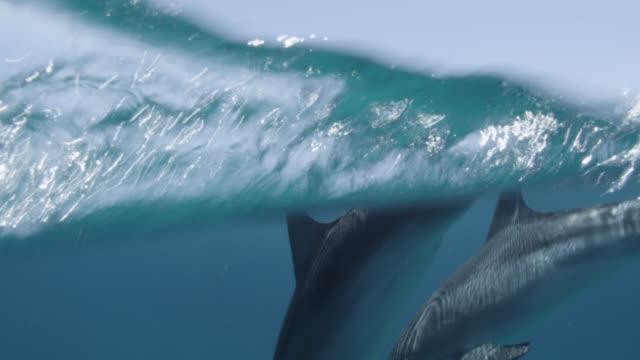 atlantic spotted dolphins surface, bahamas - bimini stock videos & royalty-free footage