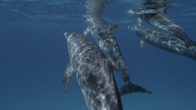 atlantic spotted dolphins surface, bahamas - underwater stock videos & royalty-free footage