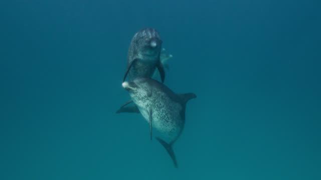 vidéos et rushes de atlantic spotted dolphins surface in ocean, bahamas - dauphin tacheté