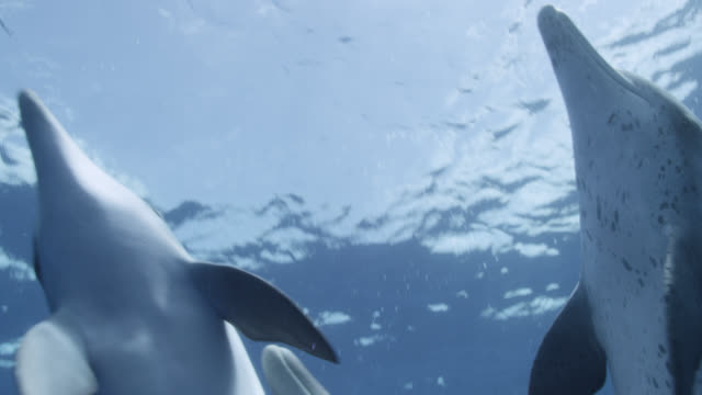 stockvideo's en b-roll-footage met atlantic spotted dolphins swim at surface, bahamas - surfacing