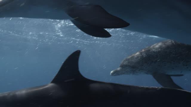 atlantic spotted dolphins swim at surface, bahamas - bimini stock videos & royalty-free footage