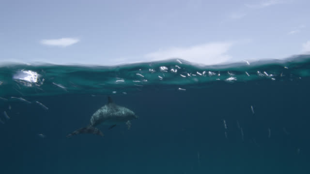 atlantic spotted dolphins swim at surface, bahamas - bimini stock videos & royalty-free footage