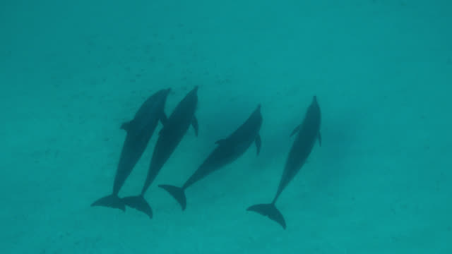 atlantic spotted dolphins swim over seabed, bahamas - bimini stock videos & royalty-free footage