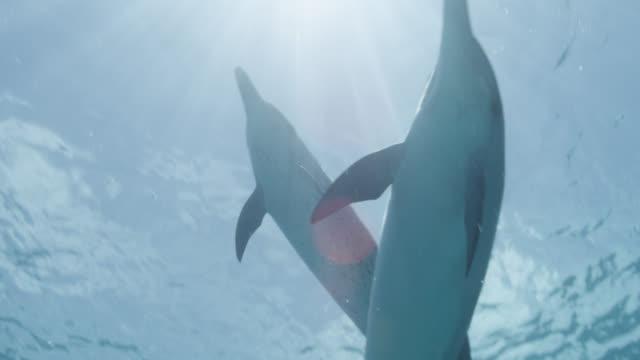 atlantic spotted dolphins swim to surface, bahamas - bimini video stock e b–roll