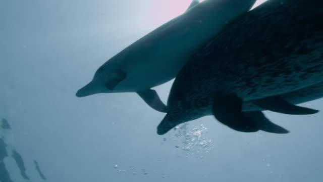 stockvideo's en b-roll-footage met atlantic spotted dolphins swim to surface, bahamas - bimini