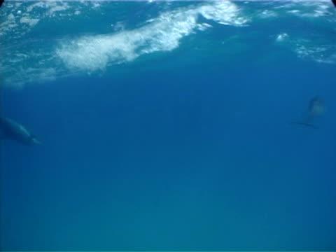 Atlantic spotted dolphins to camera and through frame, Bimini, Bahamas