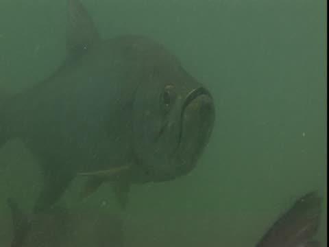 vídeos de stock e filmes b-roll de atlantic tarpon feed on tiny fish in the atlantic ocean. - guelra