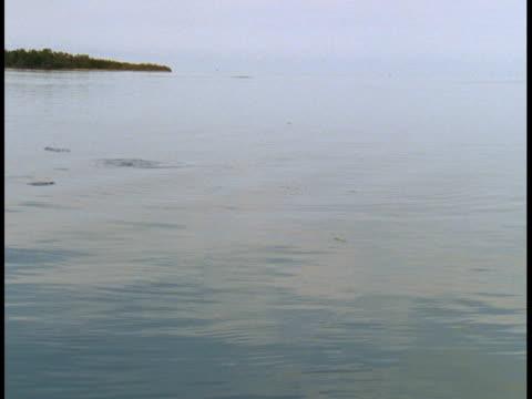 vídeos y material grabado en eventos de stock de atlantic tarpon surface in calm waters. - salir del agua