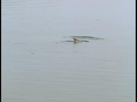 atlantic tarpon surface in calm waters - 浮き上がる点の映像素材/bロール