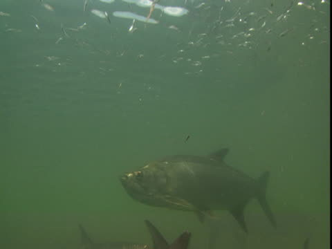 vídeos de stock e filmes b-roll de atlantic tarpon swarm around a school of tiny, glittering fish near the surface of the water. - guelra