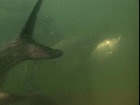 vídeos de stock, filmes e b-roll de atlantic tarpon swim in murky water. - grosso