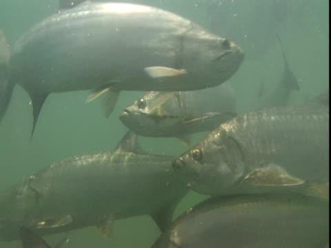 vídeos de stock e filmes b-roll de atlantic tarpon swim in murky waters. - guelra
