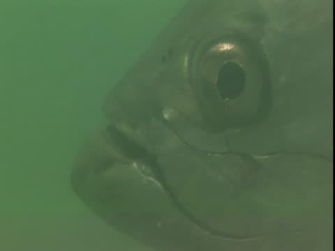 vídeos de stock e filmes b-roll de atlantic tarpon swim through murky waters. - guelra