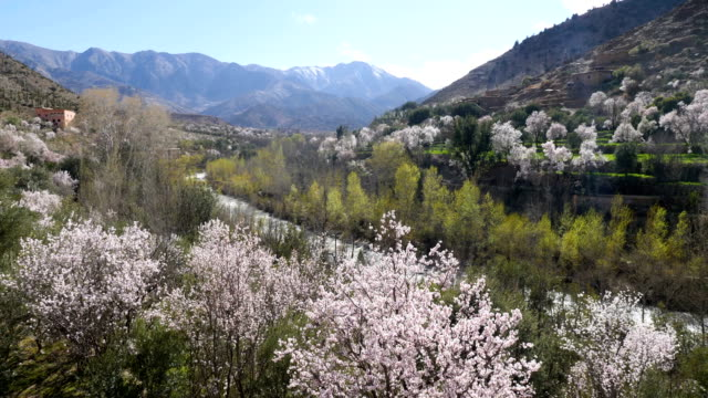 atlas mountains with almonds in full bloom - food and drink stock videos & royalty-free footage
