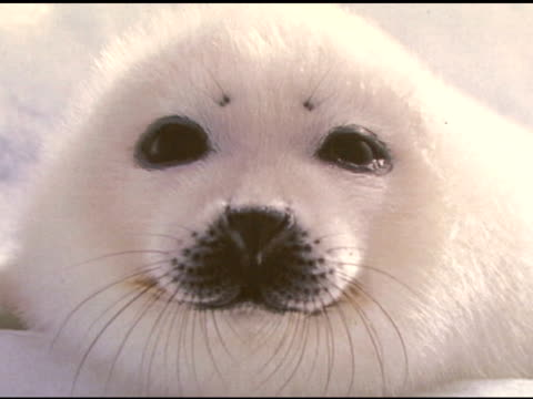 vidéos et rushes de protectsealsorg at the celebrity save the seal day press conference hosted by celebrities against the seal hunt on march 28 2007 - phoque