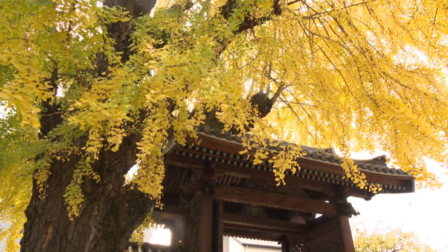 vidéos et rushes de atom bomb ginkgo tree, hiroshima - arme de destruction massive
