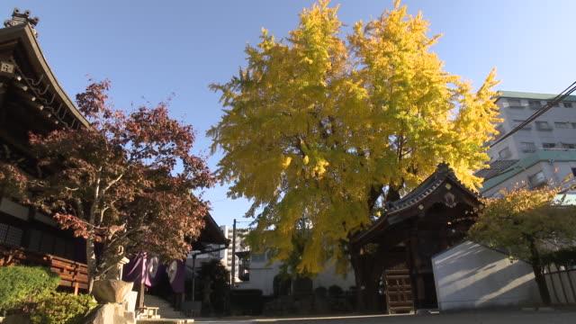 atom bomb ginkgo tree, hiroshima - ginkgo stock videos & royalty-free footage