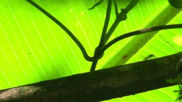 vídeos de stock e filmes b-roll de atta trabalhador formigas - invertebrado