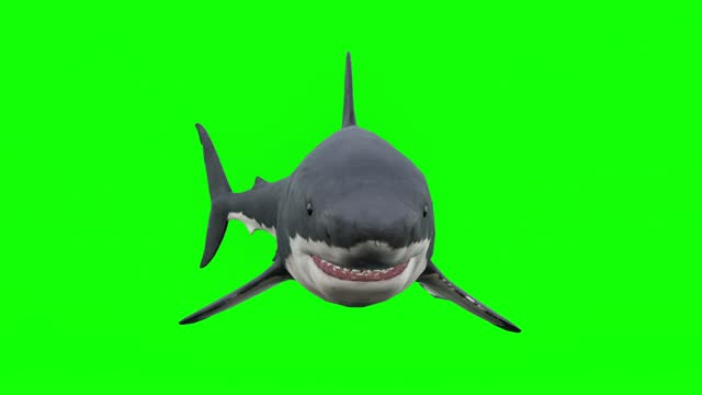 attacking great white shark on gren screen. the concept of animal themes, fish, wildlife, games, 3d animation, short video, film, cartoon, organic, chroma key, character animation, design element, loopable, cut out, chroma key - matte image technique stock videos & royalty-free footage