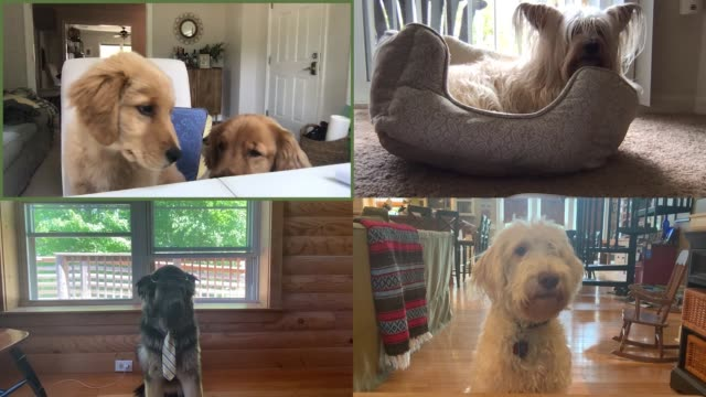 attentive dogs hold a conference call - in front of stock videos & royalty-free footage