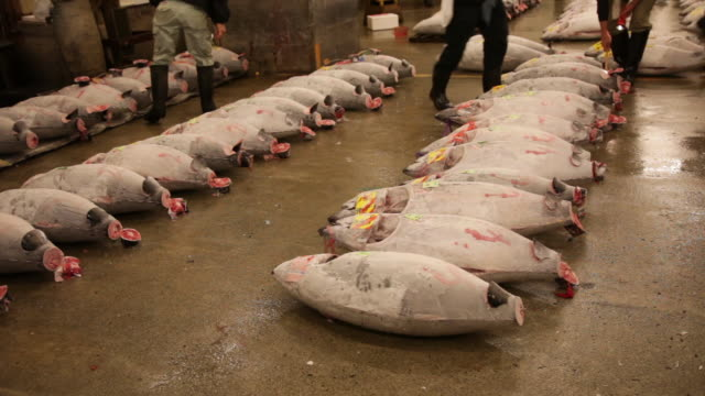 auction of tuna at tsukiji fish market in tokyo. - auction stock videos and b-roll footage