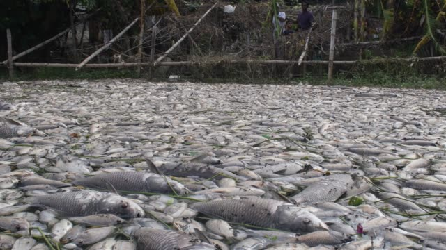 august 2020: miscreants poison to death different species of fish worth of tk 5 crore at a farm in ashulia area of savar, outskirt of the capital in... - fish stock videos & royalty-free footage