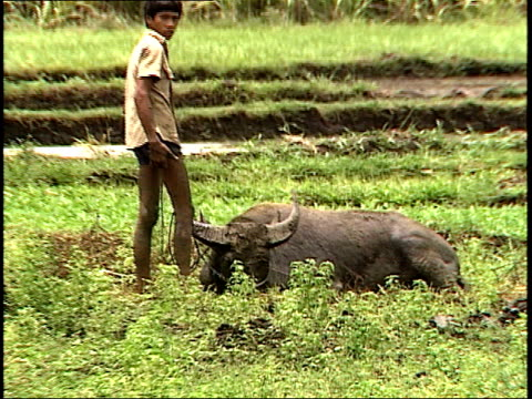 vidéos et rushes de august 4, 1985 farmer standing with his carabao as it rolls in muddy ground / philippines - habitant des îles du pacifique