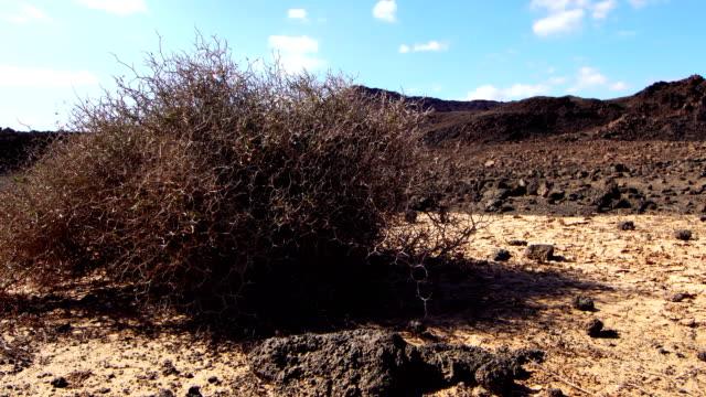 Aulaga Majorera -Fuerteventura