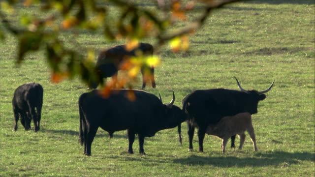 aurochs herd in autumn - 50 sekunder eller längre bildbanksvideor och videomaterial från bakom kulisserna