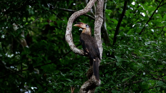 austen's brown hornbill,the abundance of khao yai forest in thailand. - asian tribal culture stock videos and b-roll footage