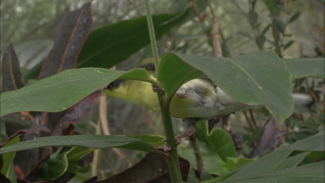 ms australasian figbird (sphecotheres vieilloti) on leafy tree branch, parrot in background, cairns, queensland, australia - swaying stock videos & royalty-free footage