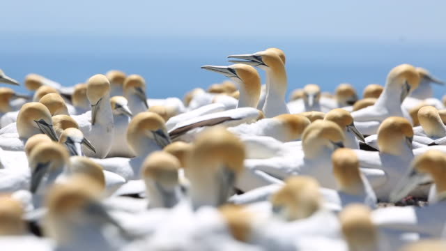 australasian gannet colony at cape kidnappers, new zealand - 営巣地点の映像素材/bロール