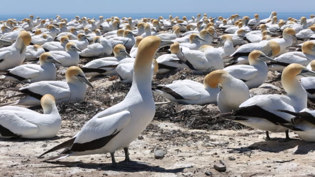 australasian gannet colony at cape kidnappers, new zealand - colony stock-videos und b-roll-filmmaterial