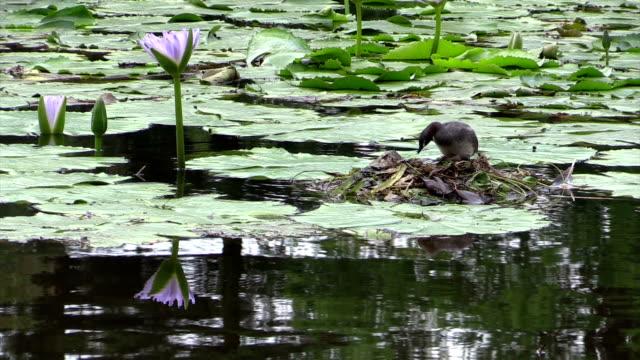 australischer lappentaucher tachybaptus capital territory organisation nest zu waterlilies - water bird stock-videos und b-roll-filmmaterial
