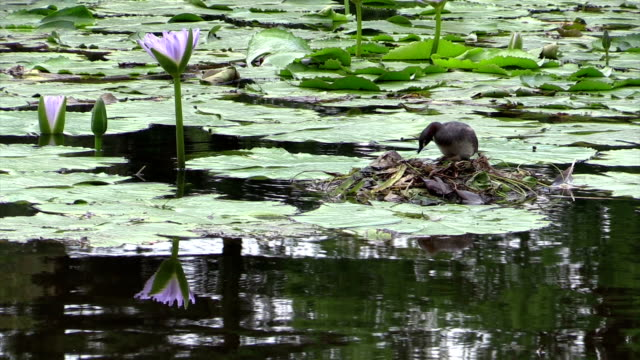 australasian grebe tachybaptus novaehollandiae arranging nest among waterlilies - water bird stock videos & royalty-free footage