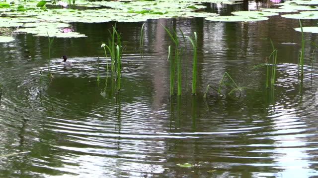 australasian grebe tachybaptus novaehollandiae swimming among water grasses - water bird stock videos & royalty-free footage