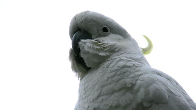 Australia cockatoo head