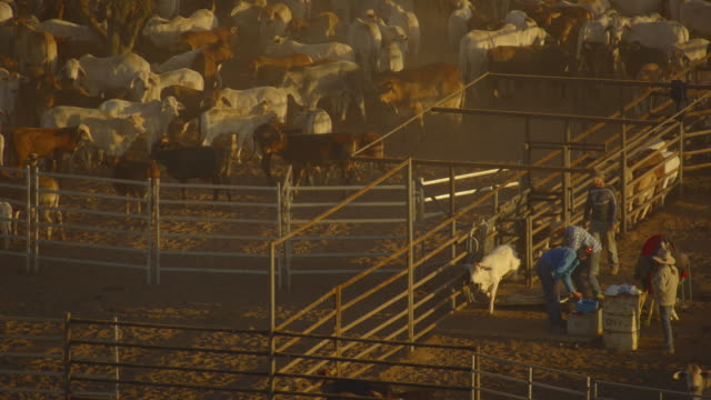 australia: cow sheds, cows and calves - ranch stock videos & royalty-free footage